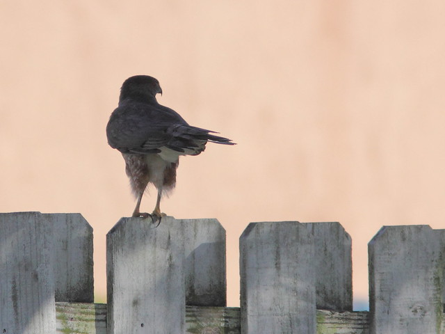 Coopers Hawk 20120124