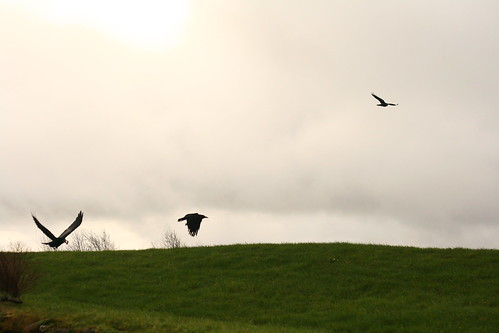 Crows in flight by Aoife B