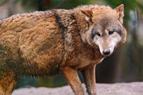 Wolf looking sad by Tambako the Jaguar