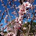 Cherry Blossoms at Balboa Park, Los Angeles, CA