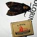 Small photo of Acherontia atropos Deaths head hawk moth