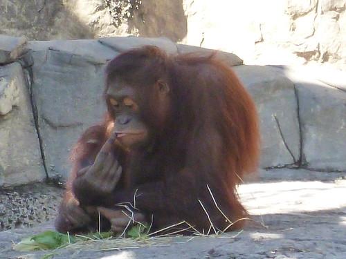 Orangutan Picking Nose