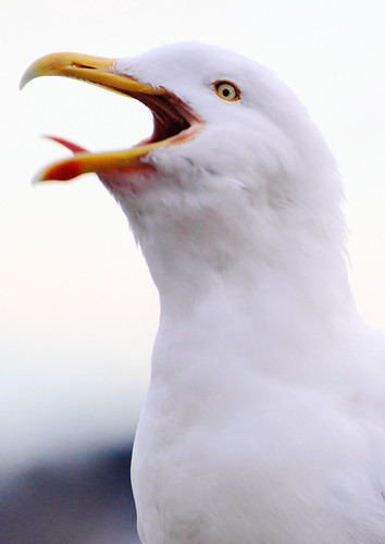 Shouting gull close-up