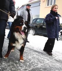 animal(1.0), dog(1.0), pet(1.0), mammal(1.0), bernese mountain dog(1.0),