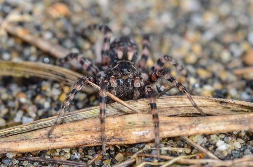 <p><i>Arctosa perita</i>, Lycosidae<br /> Iona Beach Regional Park, Richmond, British Columbia, Canada<br /> Nikon D5100, 105 mm f/2.8<br /> March 9, 2014</p>
