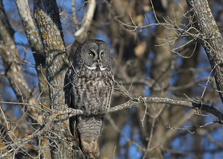 Great Gray Owl...#15