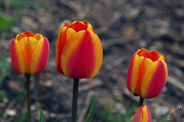 Tulips, Rock Gardens