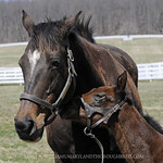 b.f. Friesan Fire-Lexington Girl, by Storm Cat, Marathon Farm, foaled 4/2/14, photographed 4/6/14