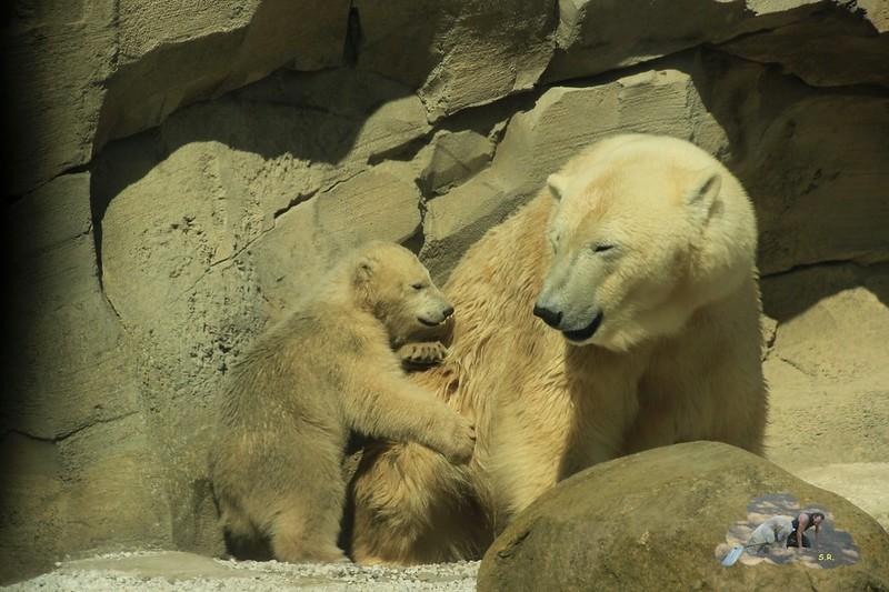 Zoo Bremerhaven Eisbär Lale 19.04.2014