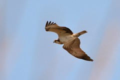 stonefactionbirding2014.blogspot.co.uk/2014/04/easter-exc...  Osprey over the Eden estuary at Guardbridge....
