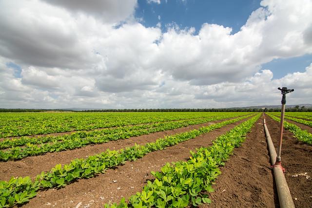 My peanuts field