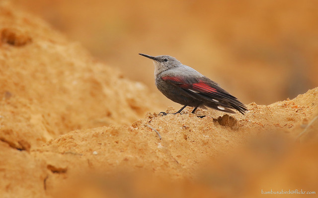 นกไต่ผา / Wallcreeper / Tichodroma muraria