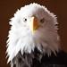 Haliaeetus leucocephalus - Bald Eagle by natugraphy