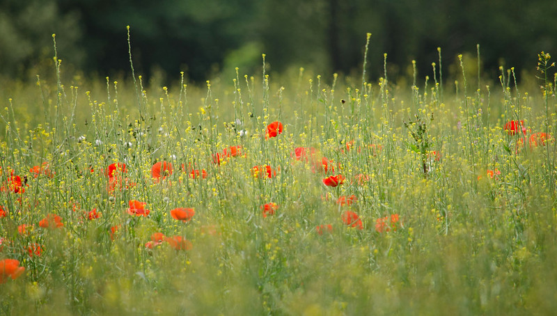 photo of wildflower meadow