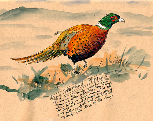 November 2011: Meeting a Ring-Necked Pheasant by apple-pine