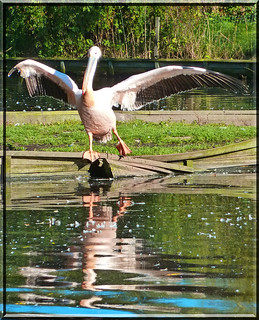 dancing pelican with a broken wing