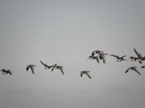 Paseo de domingo por las lagunas de villafáfila viendo gansos