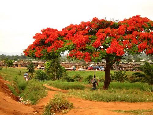 Mzuzu Malawi Flower Tree Africa by Danalynn C