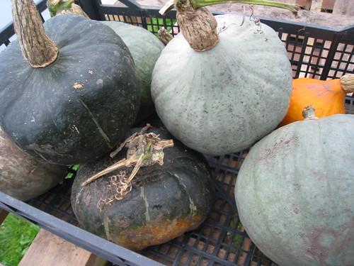 Operation Farm - pumpkins