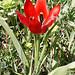 Tulipa praecox (Mark Galliott)