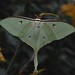 Small photo of Indian moon moth (Actias selene)