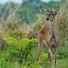 Pampas deer (Ozotoceros bezoarticus) by PeterQQ2009