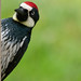 "Small photo of Acorn woodpecker says ""Hi""."