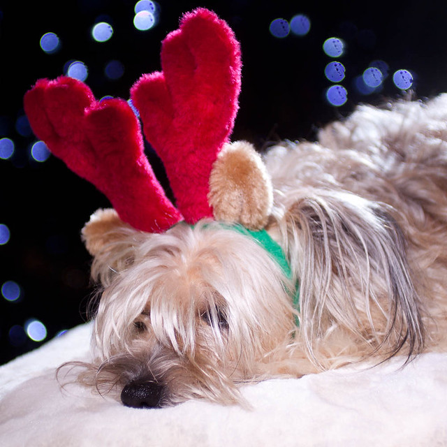 Olive's Holiday Spirit