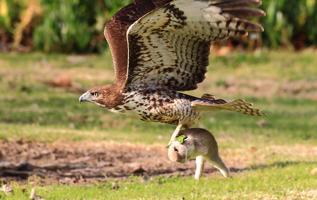 Do Red Shouldered Hawks Eat Small Dogs