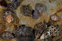 沙灘上原本因不滿各種尺寸的貝殼,現在卻消失無蹤,或讓尺寸單一化。(攝影:廖運志)