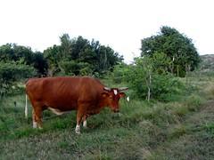 Bull Along Happy Bay Trail