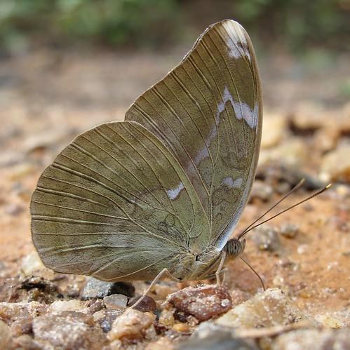 Grey Forester - Bebearia demetra