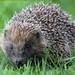 Hedgehog@SCC (2)