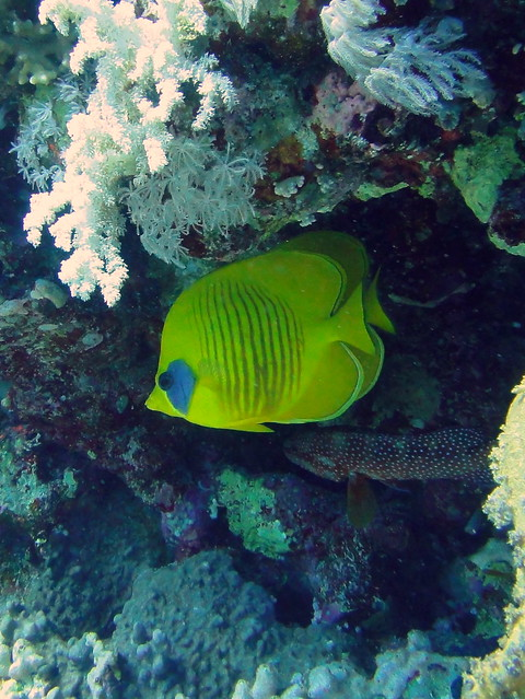 Masked butterfly fish on jolanda wreck flickr photo for Freshwater butterfly fish