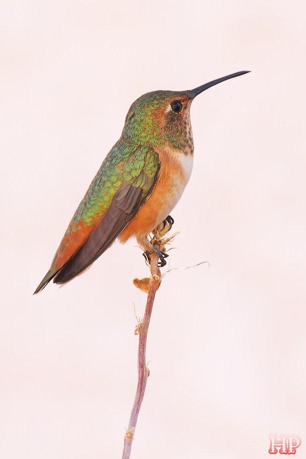 Allen's Hummingbird 122312-13