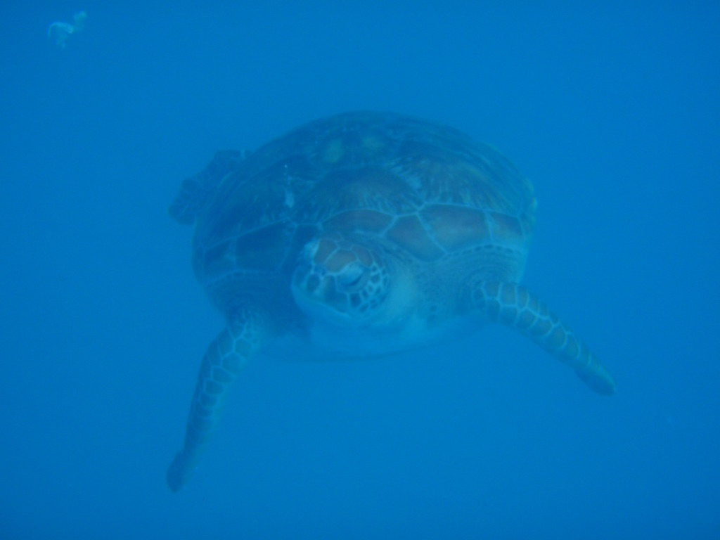 Snorkeling with Sea Turtles - Barbados
