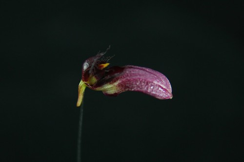 Bulbophyllum coroliferum var atropurpureum single flower profile 2