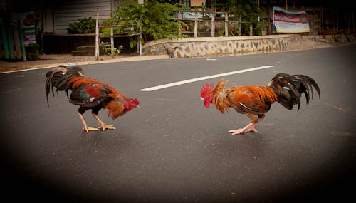 Roosters ready to fight