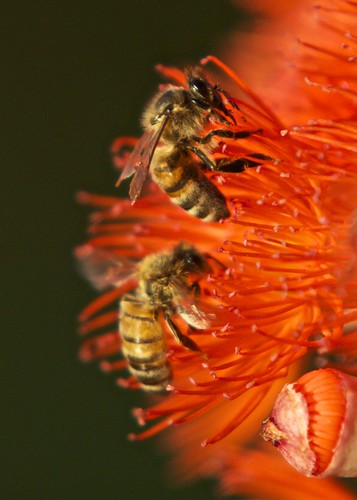 Bees Macro by sbslatts