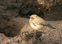 Desert Wheatear, Newbiggin-by-the-Sea