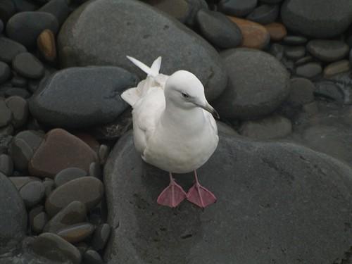 Gaviota polar