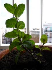 planta de menta en maceta