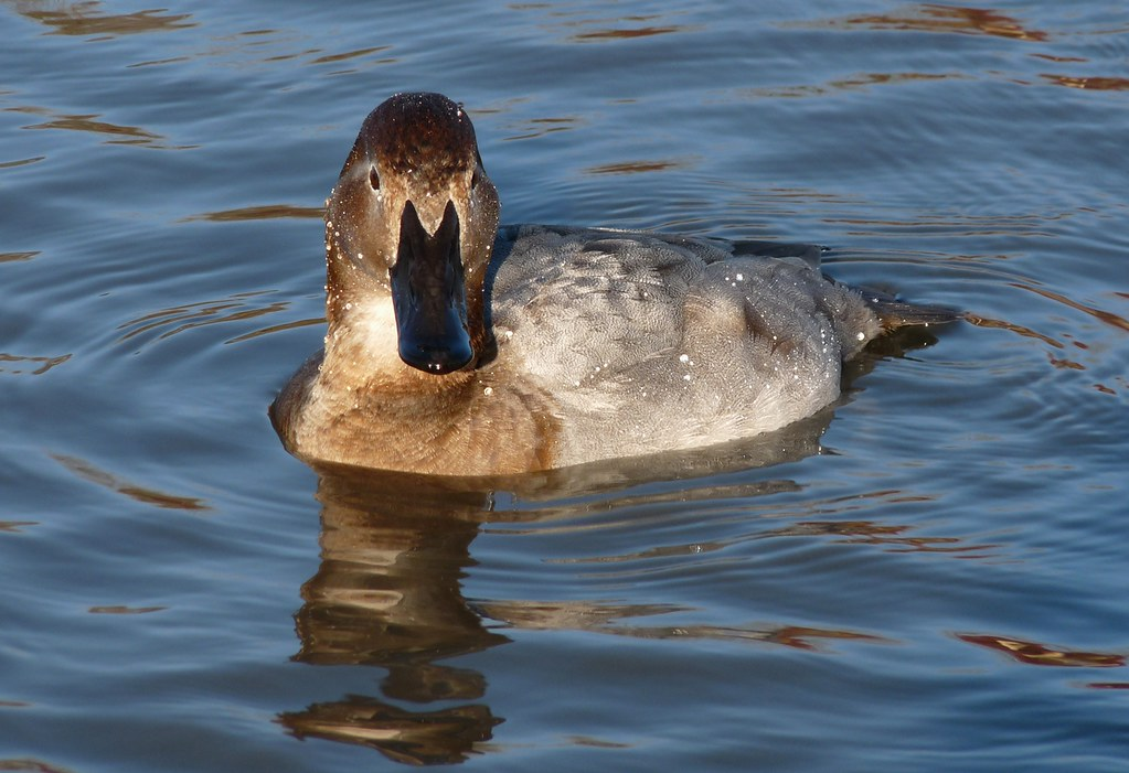 25464 - Pochard, Slimbridge
