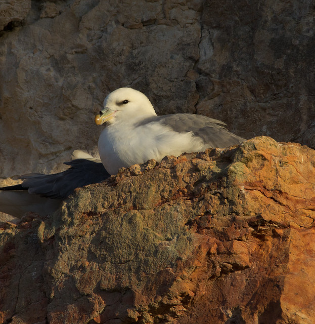 fulmars on cliff