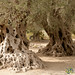 Ancient Olive Trees - Gortys, Crete