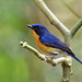 Hill Blue Flycatcher #1