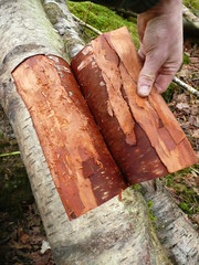 harvesting birch bark