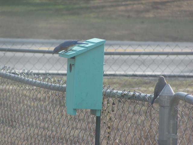 Blue Birds checking out nextbox 03