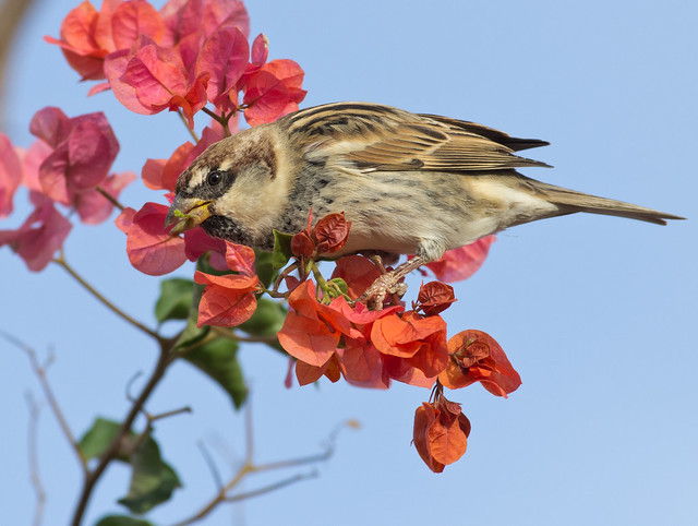 Spanish sparrow in flowers 5
