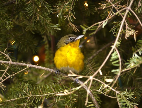 Yellow-breasted Chat (Icteria virens) in Bryant Park, New York City